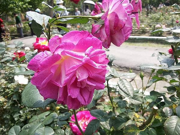 玫瑰43.jpg