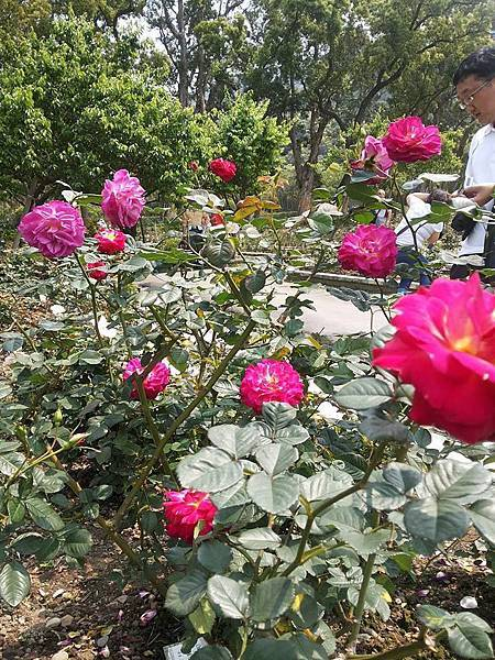 玫瑰44.jpg