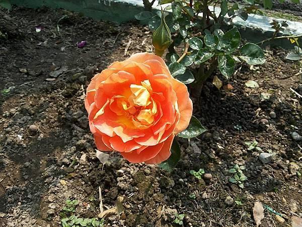 玫瑰45.jpg