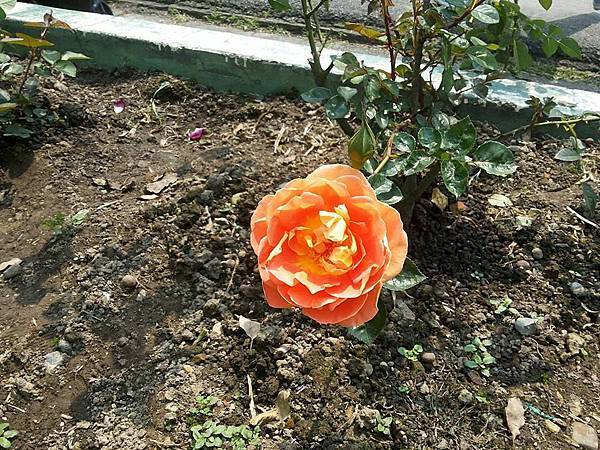 玫瑰46.jpg