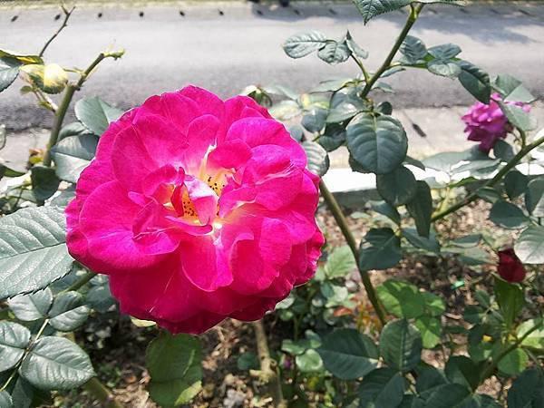 玫瑰47.jpg