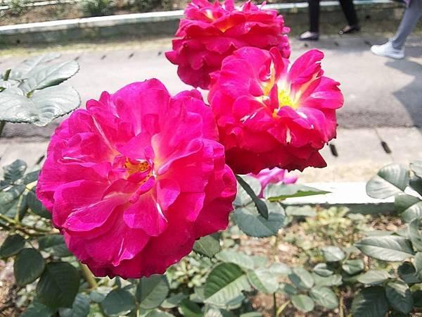 玫瑰48.jpg