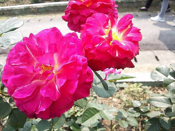 玫瑰49.jpg