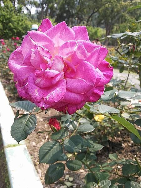 玫瑰50.jpg