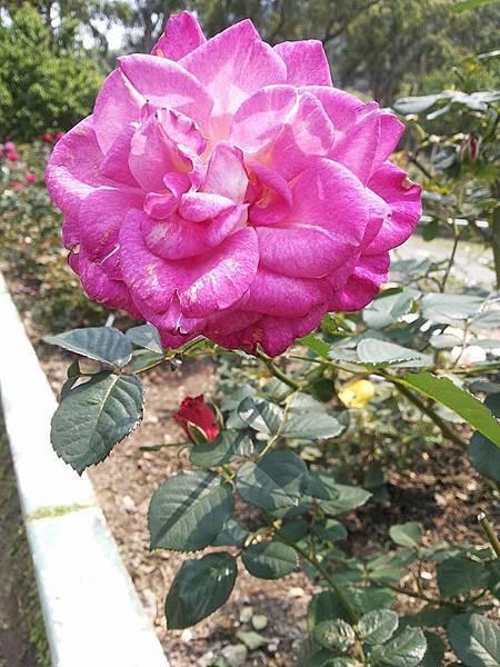 玫瑰51.jpg