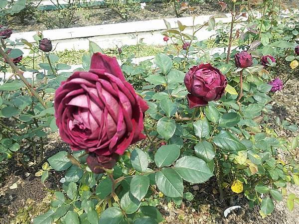 玫瑰52.jpg