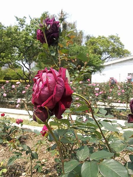 玫瑰53.jpg
