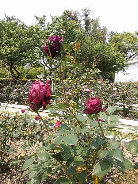 玫瑰54.jpg
