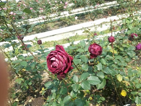 玫瑰55.jpg