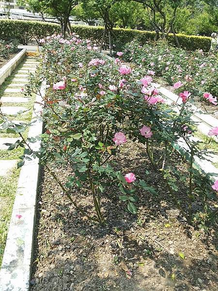 玫瑰59.jpg