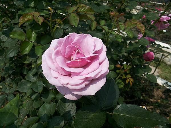玫瑰63.jpg