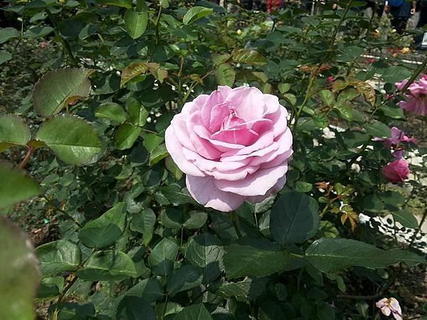玫瑰65.jpg