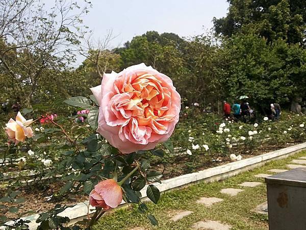 玫瑰66.jpg