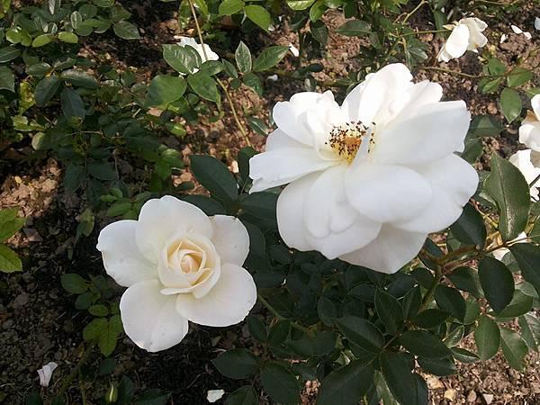 玫瑰68.jpg