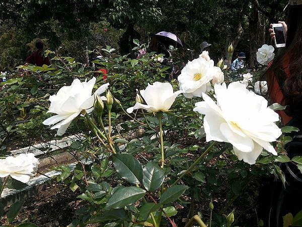 玫瑰70.jpg
