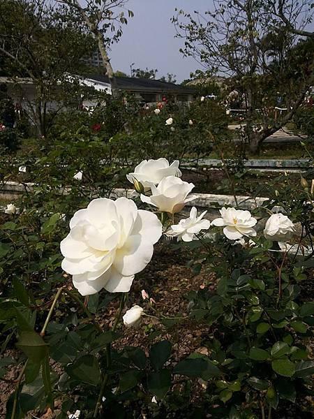 玫瑰71.jpg