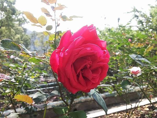 玫瑰72.jpg