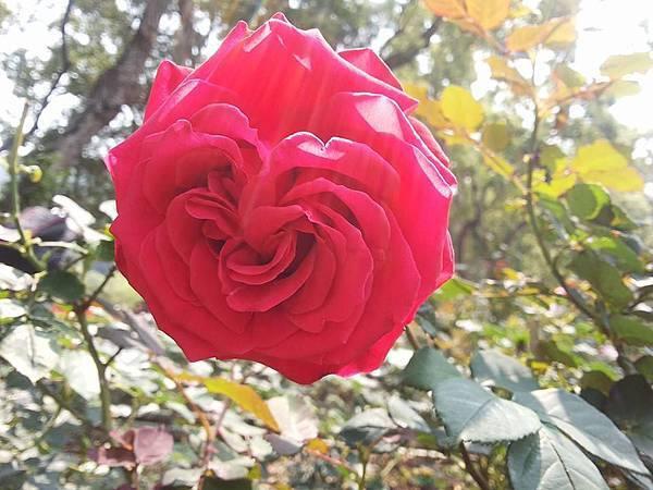 玫瑰73.jpg