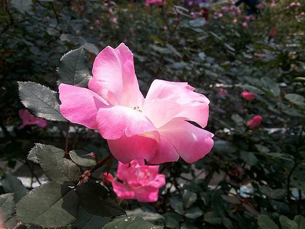玫瑰77.jpg