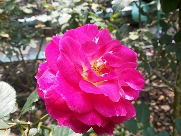 玫瑰78.jpg