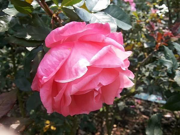 玫瑰80.jpg
