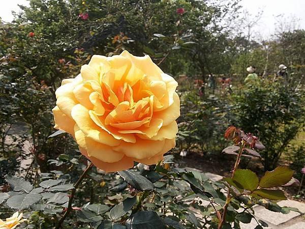玫瑰81.jpg