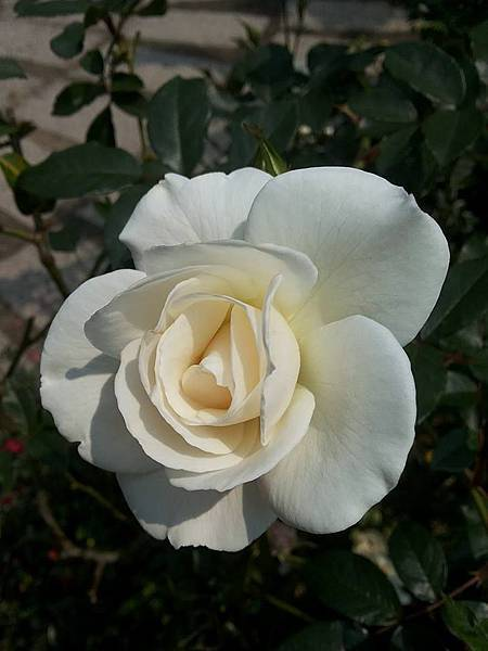 玫瑰82.jpg