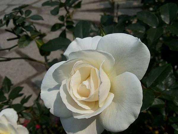 玫瑰83.jpg
