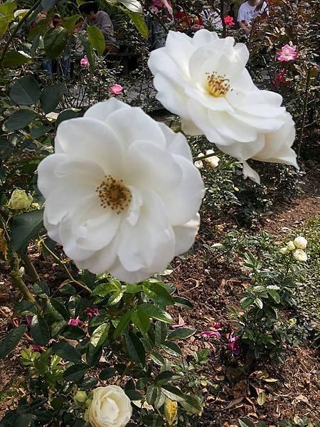 玫瑰84.jpg