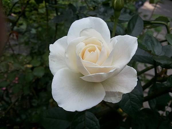 玫瑰87.jpg