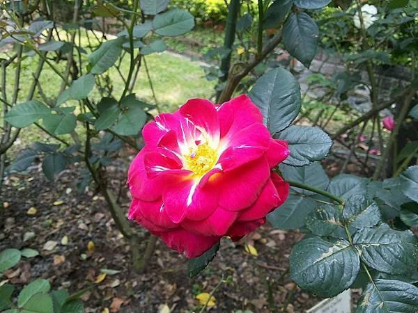 玫瑰88.jpg