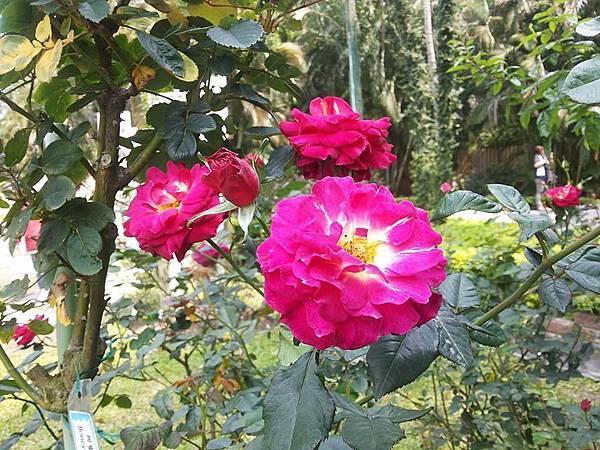 玫瑰89.jpg