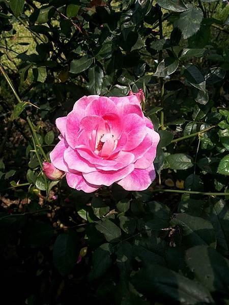 玫瑰90.jpg
