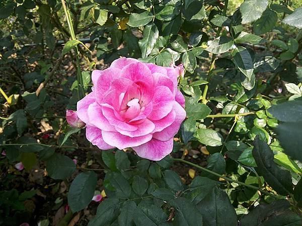 玫瑰91.jpg