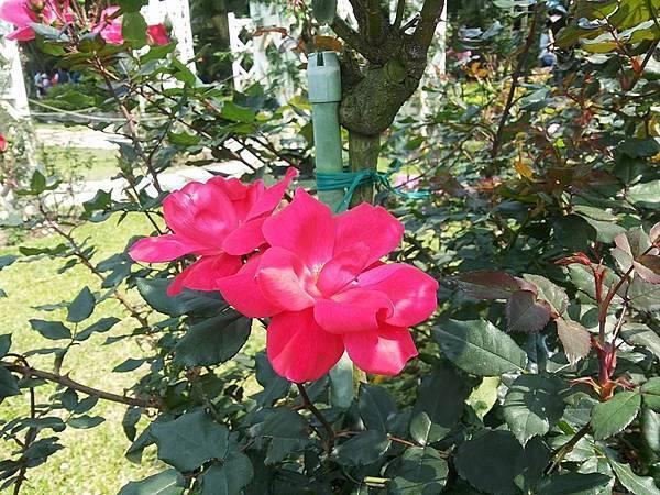 玫瑰92.jpg