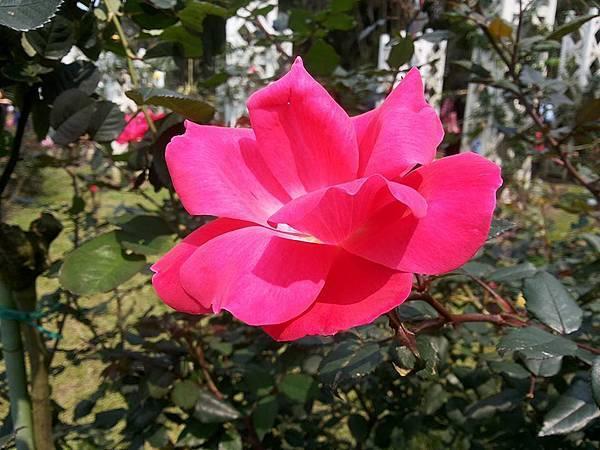 玫瑰93.jpg
