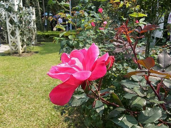 玫瑰94.jpg