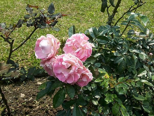 玫瑰96.jpg