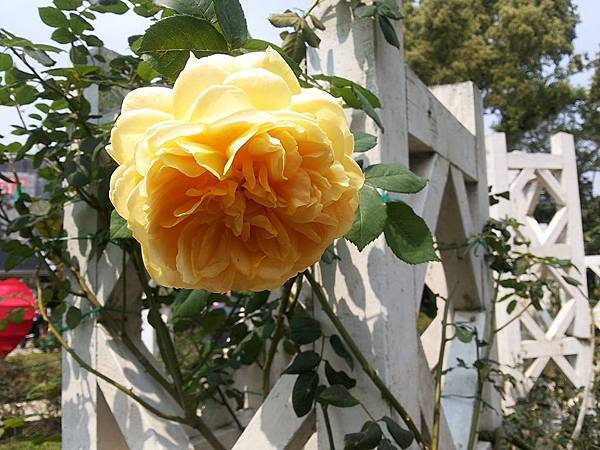 玫瑰97.jpg