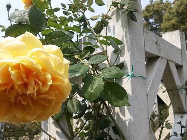 玫瑰98.jpg