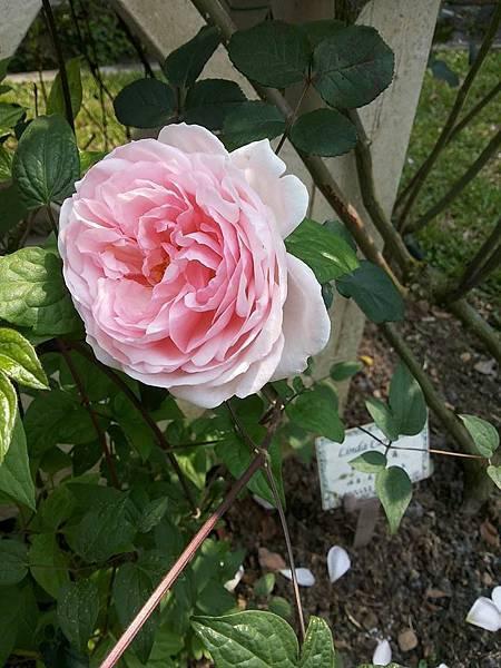 玫瑰99.jpg