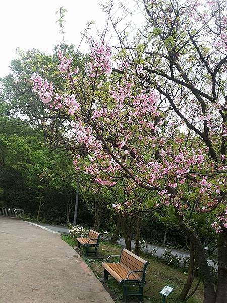 櫻花8.jpg