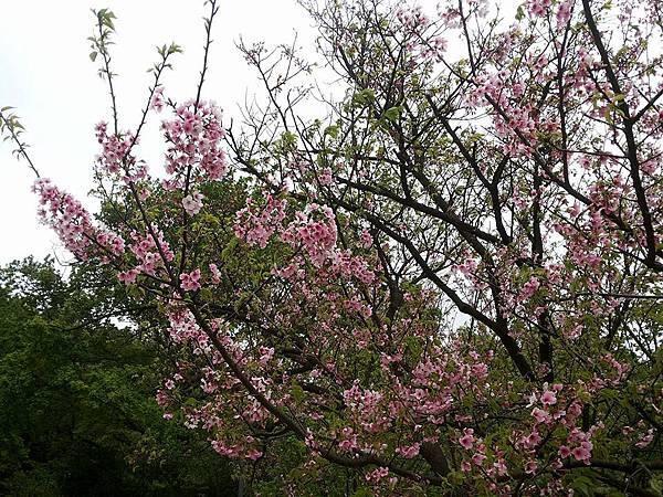 櫻花9.jpg