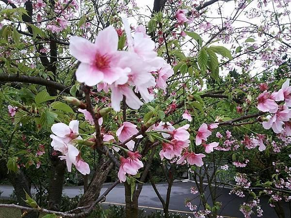 櫻花11.jpg