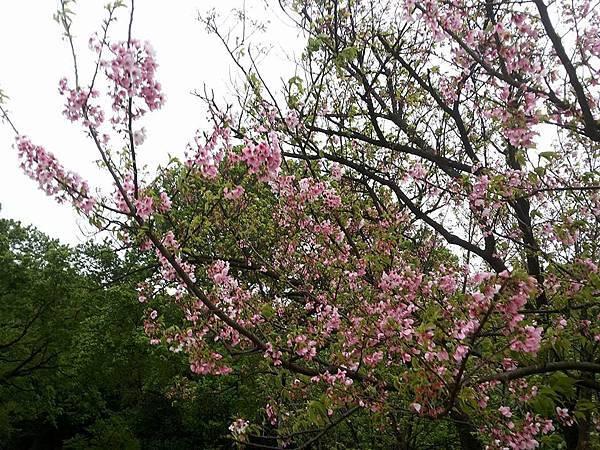 櫻花12.jpg
