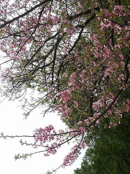 櫻花13.jpg
