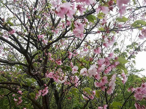 櫻花14.jpg