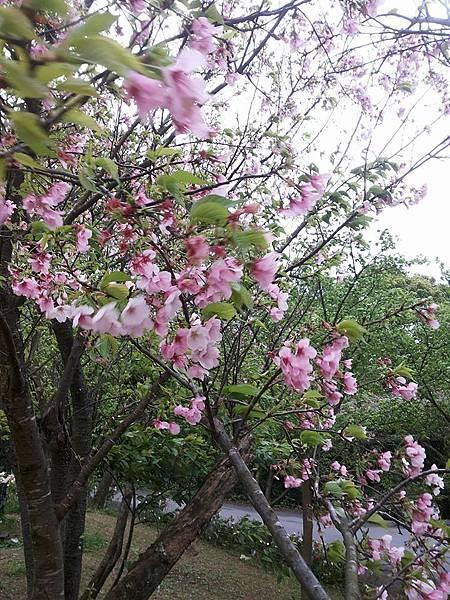 櫻花15.jpg