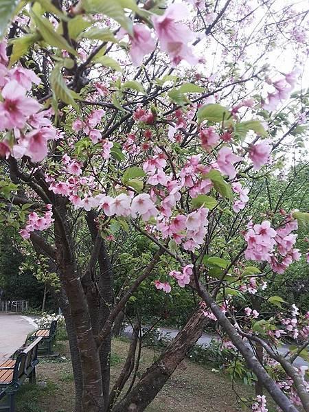 櫻花16.jpg