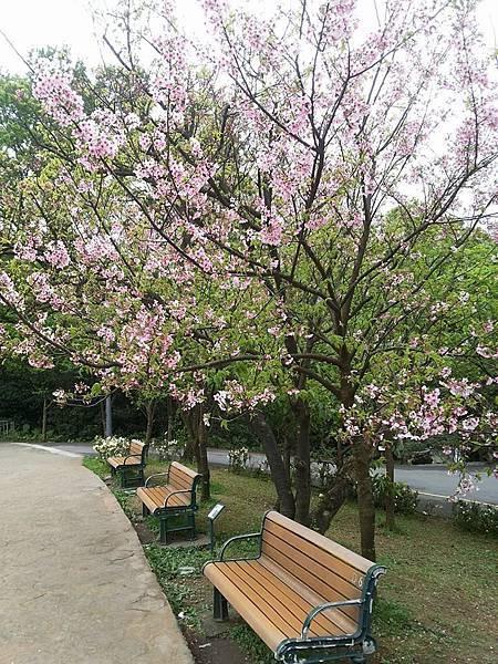 櫻花17.jpg